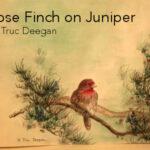 Rose Finch on Juniper • by Truc Deegan