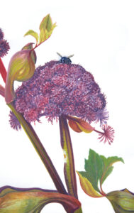 Angelica Detail