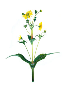 Cup Plant